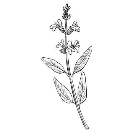 vector drawing sage plant, Salvia officinalis, hand drawn illustration of medicinal plant Illustration