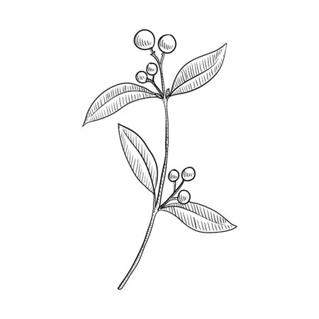 vector drawing indian sandalwood, Santalum album , hand drawn illustration of medicinal plant Иллюстрация