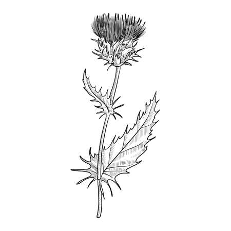 vector drawing milk thistle