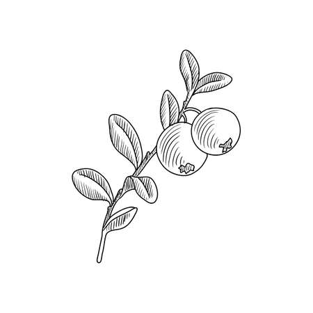 vector drawing blueberry ,Vaccinium Cyanococcus , hand drawn illustration of medicinal plant Иллюстрация