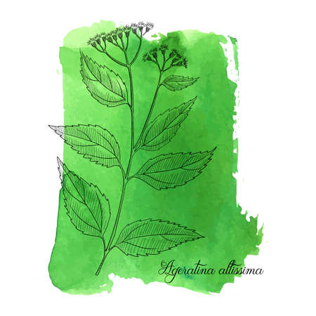 vector drawing white snakeroot, Ageratina altissima at green watercolor background, hand drawn illustration