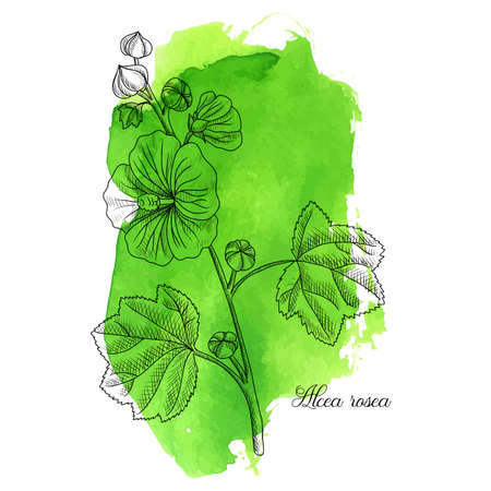 vector drawing hollyhock plant, Alcea rosea at green watercolor background, hand drawn illustration Ilustração