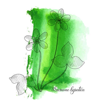 vector drawing hepatica, Anemone hepatica at green watercolor background, hand drawn illustration Ilustração