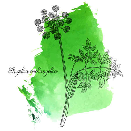 vector drawing wild celery, Angelica archangelica at green watercolor background, hand drawn illustration