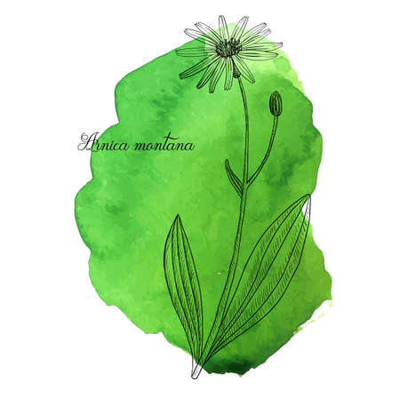 vector drawing arnica, Arnica montana at green watercolor background, hand drawn illustration Ilustração