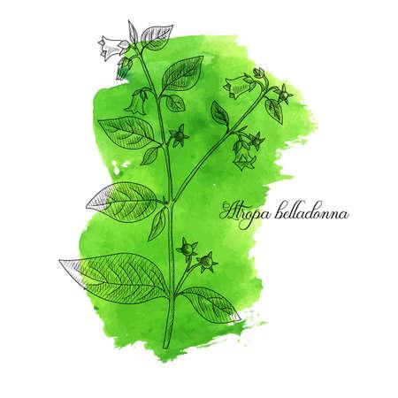 vector drawing belladonna, Atropa belladonna at green watercolor background, hand drawn illustration