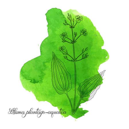 vector drawing water plantain , Alisma plantago-aquatica at green watercolor background, hand drawn illustration Ilustrace