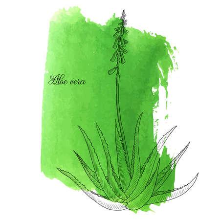 vector drawing aloe vera plant at green watercolor background, hand drawn illustration
