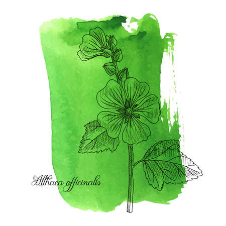 vector drawing Marsh-mallow at green watercolor background, Althaea officinalis, hand drawn illustration Ilustração