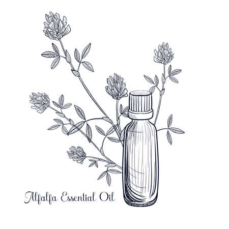 vector drawing alfalfa essential oil