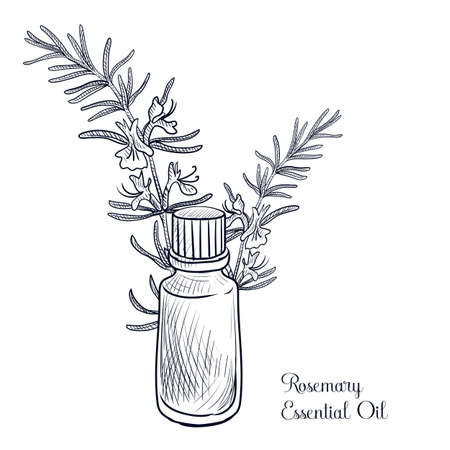 vector drawing rosemary essential oil