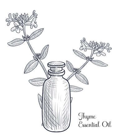 vector drawing thyme essential oil