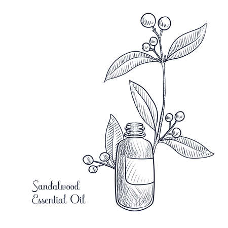 vector drawing sandalwwood essential oil
