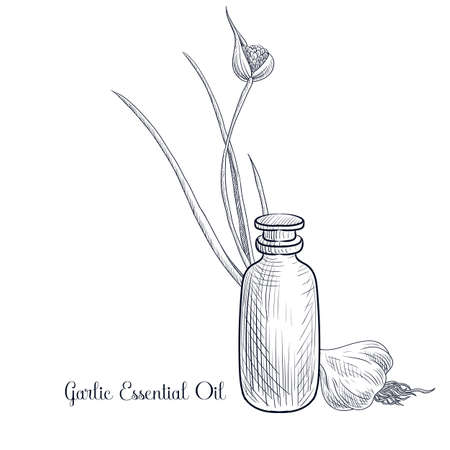 vector drawing garlic essential oil, Allium sativum, hand drawn illustration Ilustração