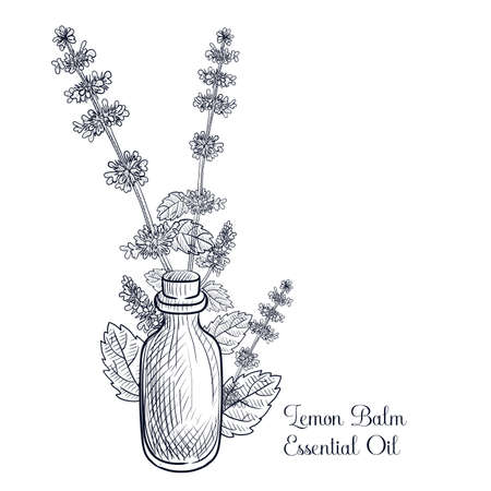 vector drawing lemon balm essential oil