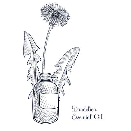 vector drawing dandelion essential oil