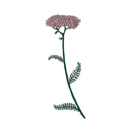 vector drawing yarrow flower Vektorové ilustrace