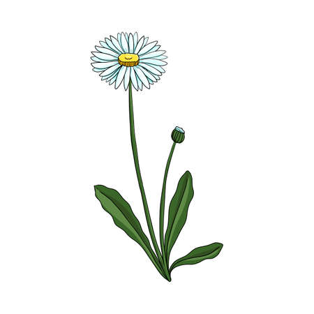 vector drawing lawn daisy