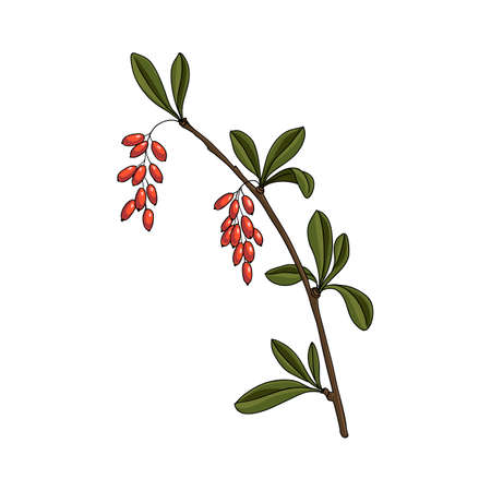 vector drawing barberry
