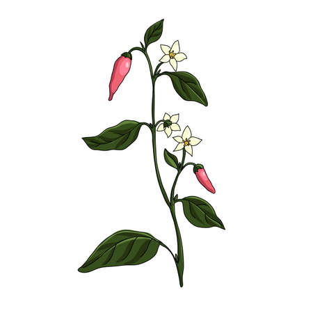 vector drawing cayenne pepper plant