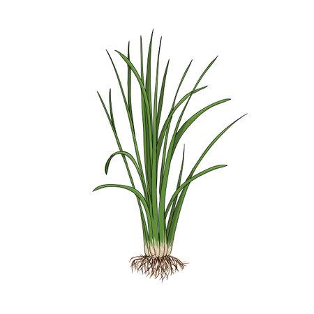 vector drawing vetiver plant Ilustración de vector
