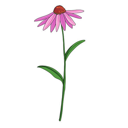vector drawing purple coneflower