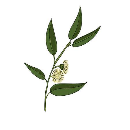 vector drawing eucalyptus