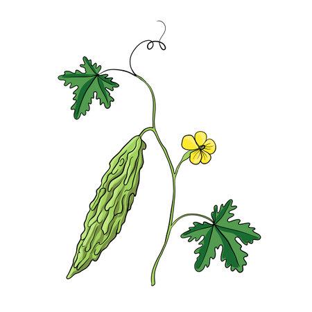 bitter melon plant vector illustration