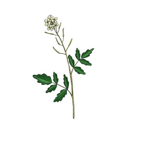 vector drawing watercress flower