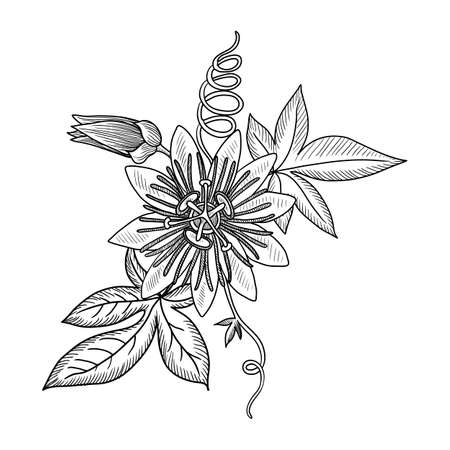 vector drawing passion flower