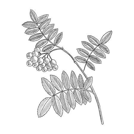 vector drawing branch of rowan tree with leaves