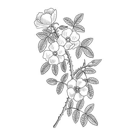 vector drawing branch of sweet brier with leaves