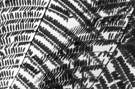 Siluet fern close up. Black and white texture photo