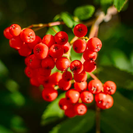 rowan tree: Red berries on a mountain ash or rowan tree, Sorbus aucuparia.