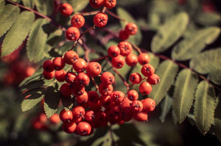 Red berries on a mountain ash or rowan tree, Sorbus aucuparia. photo