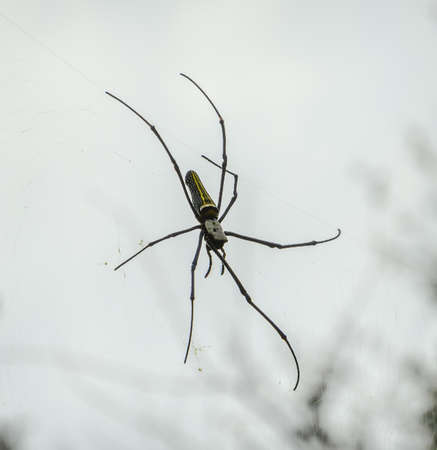 wood spider: Close up of golden orb-weaver or giant wood spider or banana spider (Nephila pilipes) on its web Stock Photo