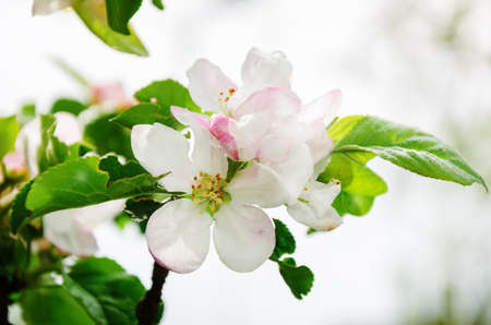 Blossoming tree of an apple-tree.