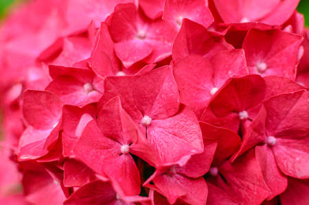 Close-up photo of beautiful pink hydrangea flowers Stock Photo