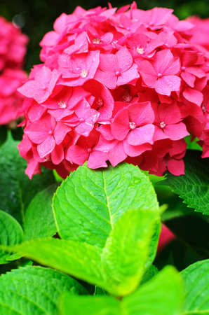 Close-up photo of beautiful pink hydrangea flowers. Soft selective focus and shallow depth of field