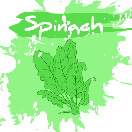 spinach: Vector hand drawing illustration of vegetable with label and artistic watercolor splash and brush marks. Spinach.