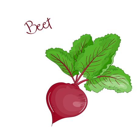 vector isolated cartoon fresh hand drawn beet