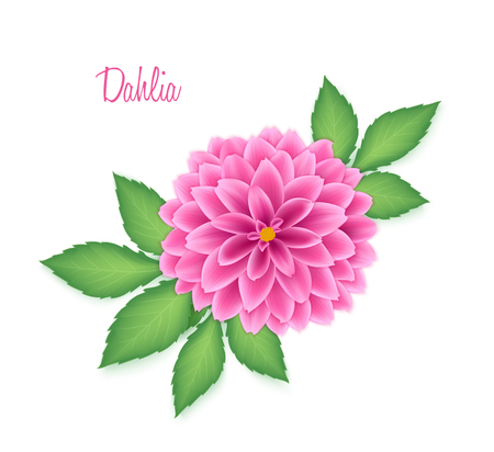 asteraceae: Vector isolated realistic dahlia flower with green leaves.