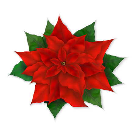 vector illustration of isolated realistic christmas red poinsettia flower.