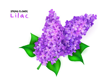 vector illustration of isolated realistic spring blooming lilac branch with leaves