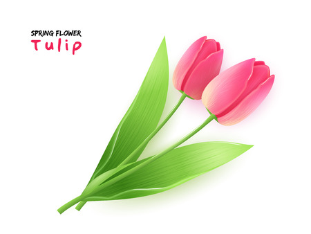 Vektorillustration der lokalisierten realistischen blühenden Tulpeblume des Frühlinges mit Blättern Standard-Bild - 74369771