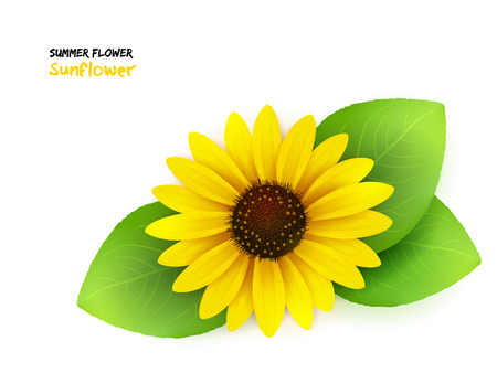 vector illustration of isolated realistic blooming sunflower with leaves