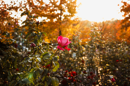 Rose garden rose garden setting sun shines