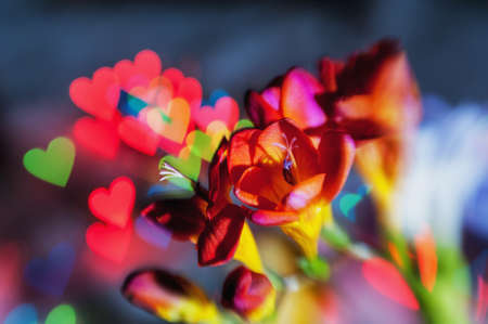 Red freesias creatively shot with blue light and bokeh in the shape of a heart in the background with soft focus