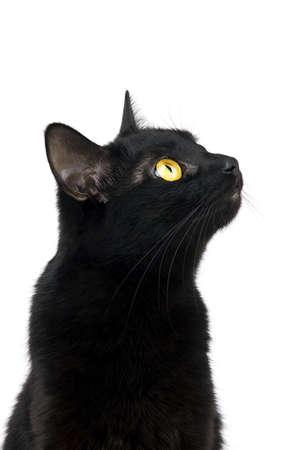 gato negro: Gato negro mirando con interés aislados en blanco