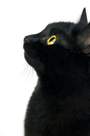Black cat portrait in profile isolated on white photo